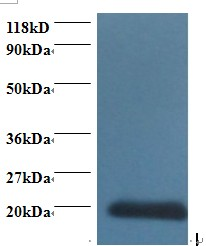 Western blot of Cytidine deaminase antibody at 2 ug/ml + 293T whole cell lysate. Secondary: Goat polyclonal to Rabbit IgG at 1:15000 dilution. Predicted band size: 16.5 kDa. Observed band size: 20 kDa.  This image was taken for the unconjugated form of this product. Other forms have not been tested.