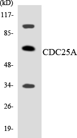 Western blot analysis of the lysates from K562 cells using CDC25A antibody.