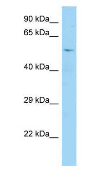 CDC25A antibody Western Blot of Fetal Brain.  This image was taken for the unconjugated form of this product. Other forms have not been tested.