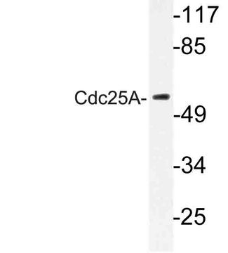 Western blot of Cdc25A (N70) pAb in extracts from Jurkat cells.