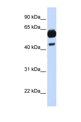 CDC25A antibody Western blot of Fetal Brain lysate. Antibody concentration 1 ug/ml. This image was taken for the unconjugated form of this product. Other forms have not been tested.