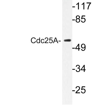 Western blot of Cdc25A (K120) pAb in extracts from HepG2 cells.