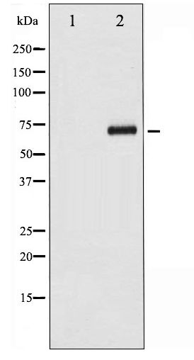Western blot of CDC25A phosphorylation expression in UV treated 293 whole cell lysates,The lane on the left is treated with the antigen-specific peptide.