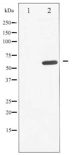 Western blot of CDC25A phosphorylation expression in UV treated A549 whole cell lysates,The lane on the left is treated with the antigen-specific peptide.