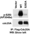 The anti-Phospho-CDC25A-S293 antibody is used in Western blot to detect Phospho-CDC25A-S293 in cells transfected with wild type or mutant S293A of CDC25A. Data courtesy of Dr. Tiebang Kang of Washington University, St. Louis, MO.
