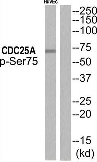 Western blot of extracts from HUVEC, using CDC25A (Phospho-Ser75) Antibody.