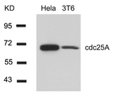 Western blot of extracts from HeLa and 3T6 cells using cdc25A(Ab-76) antibody.