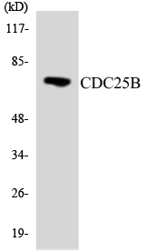 Western blot analysis of the lysates from HeLa cells using CDC25B antibody.
