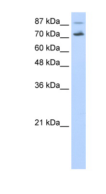 CDC25B antibody Western blot of HepG2 cell lysate. This image was taken for the unconjugated form of this product. Other forms have not been tested.
