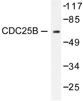 Western blot of CDC25B (R317) pAb in extracts from RAW264.7 cells.