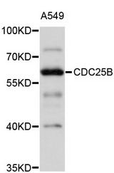 Western blot analysis of extracts of A-549 cells, using CDC25B antibody at 1:1000 dilution. The secondary antibody used was an HRP Goat Anti-Rabbit IgG (H+L) at 1:10000 dilution. Lysates were loaded 25ug per lane and 3% nonfat dry milk in TBST was used for blocking. An ECL Kit was used for detection and the exposure time was 5s.