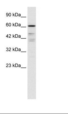 Daudi Cell Lysate.  This image was taken for the unconjugated form of this product. Other forms have not been tested.