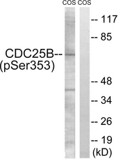 Western blot analysis of lysates from COS7 cells treated with etoposide 25uM 24h, using CDC25B (Phospho-Ser353) Antibody. The lane on the right is blocked with the phospho peptide.