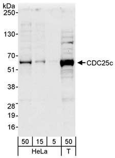 CDC25C Antibody - Detection of Human CDC25c by Western Blot. Samples: Whole cell lysate from HeLa (5, 15 and 50 ug) and 293T (T; 50 ug) cells. Antibody: Affinity purified rabbit anti-CDC25c antibody used for WB at 0.4 ug/ml. Detection: Chemiluminescence with an exposure time of 30 seconds.