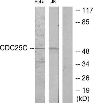 Western blot analysis of lysates from HeLa and Jurkat cells, using CDC25C Antibody. The lane on the right is blocked with the synthesized peptide.