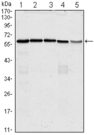 Western blot using anti-CDC25C monoclonal antibody against HeLa (1), K562 (2), PC-3 (3), HEK293 (4) and Raw264.7 (5) cell lysate.