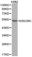 Western blot of extracts of K562 cell lines, using CDC25C antibody.