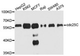 Western blot analysis of extracts of various cell lines, using CDC25C antibody at 1:1000 dilution. The secondary antibody used was an HRP Goat Anti-Mouse IgG (H+L) at 1:10000 dilution. Lysates were loaded 25ug per lane and 3% nonfat dry milk in TBST was used for blocking. An ECL Kit was used for detection and the exposure time was 90s.