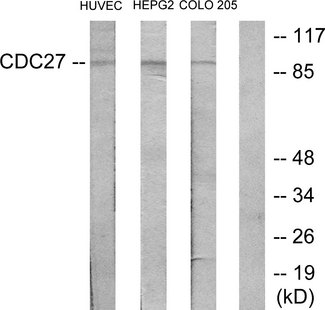 CDC27 Antibody - Western blot analysis of lysates from HUVEC, HepG2, and COLO205 cells, using H-NUC Antibody. The lane on the right is blocked with the synthesized peptide.