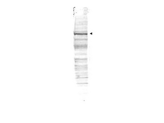 Anti-cdc27 Antibody - Western Blot. Western blot of Affinity Purified anti-cdc27 antibody shows detection of a band ~90 kD corresponding to human cdc27 (arrowhead). Approximately 35 ug of HeLa whole cell lysate was separated by SDS-PAGE and transferred onto nitrocellulose. After blocking the membrane was probed with the primary antibody diluted to 1.0 ug/ml for 2 h at room temperature followed by washes and reaction with a 1:10000 dilution of IRDye800 conjugated Gt-a-Rabbit IgG [H&L] MX ( for 45 min at room temperature. IRDye800 fluorescence image was captured using the Odyssey Infrared Imaging System developed by LI-COR. IRDye is a trademark of LI-COR, Inc. Other detection systems will yield similar results.