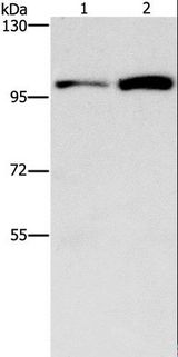 CDC27 Antibody - Western blot analysis of HepG2 and K562 cell, using CDC27 Polyclonal Antibody at dilution of 1:750.