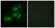Immunofluorescence analysis of HepG2 cells, using CDCP1 Antibody. The picture on the right is blocked with the synthesized peptide.
