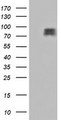 HEK293T cells were transfected with the pCMV6-ENTRY control (Left lane) or pCMV6-ENTRY CDCP1 (Right lane) cDNA for 48 hrs and lysed. Equivalent amounts of cell lysates (5 ug per lane) were separated by SDS-PAGE and immunoblotted with anti-CDCP1.
