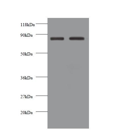 Western blot of Cadherin-12 antibody at 2 ug/ml. Lane 1: EC109 whole cell lysate. Lane 2: 293T whole cell lysate. Secondary: Goat polyclonal to rabbit IgG at 1:10000 dilution. Predicted band size: 87 kDa. Observed band size: 87 kDa.  This image was taken for the unconjugated form of this product. Other forms have not been tested.