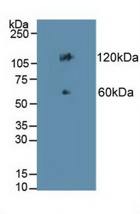 Western Blot; Sample: Mouse Colon Tissue.