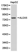 Western blot of extracts of HepG2 cell lines, using ALOX5 antibody.