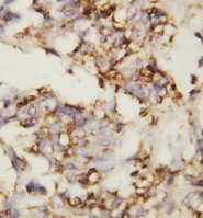 CDH2 / N Cadherin Antibody -  This image was taken for the unconjugated form of this product. Other forms have not been tested.