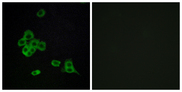 Immunofluorescence analysis of MCF7 cells, using CDH26 Antibody. The picture on the right is blocked with the synthesized peptide.