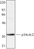 CDK1 / CDC2 Antibody - Hela extract was resolved by electrophoresis, transferred to nitrocellulose and probed with monoclonal antibody against cdc2 (p34). Proteins were visualized using a goat anti-mouse secondary conjugated to HRP and a chemiluminescence detection system.