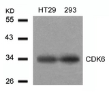 Western blot of extracts from HT29 and293 cells using CDK6 (aa22-26) antibody.