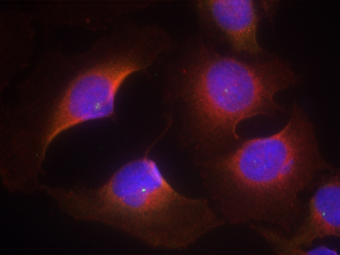 Immunofluorescence of methanol-fixed HeLa cells using CDK6 (phospho-Tyr13) antibody.