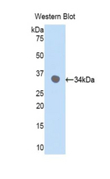 Western blot of recombinant CDK7.  This image was taken for the unconjugated form of this product. Other forms have not been tested.