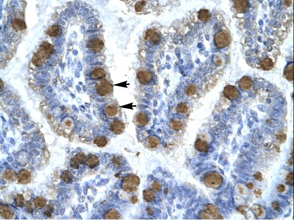 CDK7 antibody LS-C30821 was used in IHC to stain formalin-fixed, paraffin-embedded human intestine.  This image was taken for the unconjugated form of this product. Other forms have not been tested.