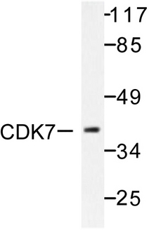 Western blot of CDK7 (L325) pAb in extracts from 293 cells.