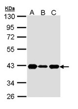 Sample (30 ug of whole cell lysate). A: H1299. B: Hela. C: Hep G2. 10% SDS PAGE. CDK7 antibody diluted at 1:1000.