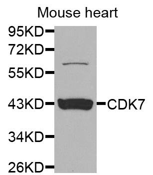 Western blot analysis of extracts of mouse heart cells.