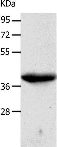 Western blot analysis of A549 cell , using CDK7 Polyclonal Antibody at dilution of 1:500.