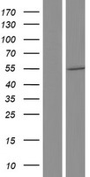 CDKL3 Protein - Western validation with an anti-DDK antibody * L: Control HEK293 lysate R: Over-expression lysate