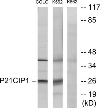 Western blot analysis of lysates from COLO and K562 cells, treated with EGF, using p21 Cip1 Antibody. The lane on the right is blocked with the synthesized peptide.