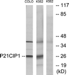 Western blot of extracts from COLO/K562 cells, treated with EGF, using p21 Cip1 (Ab-145) Antibody. The lane on the right is treated with the synthesized peptide.