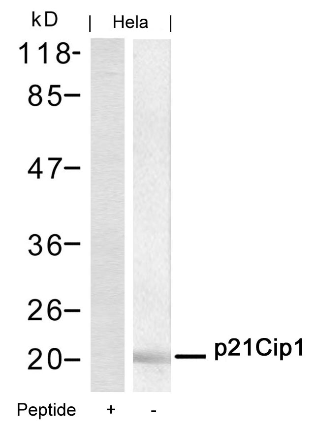 Western blot of extracts from HeLa cells using p21Cip1 (aa143-147) antibody and the same antibody preincubated with blocking peptide.