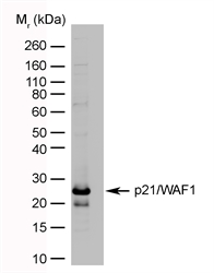 p21/WAF1 transfected cell lysate probed with Mouse anti-Human p21/WAF1 (LS-C44695).