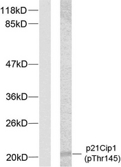 Western blot analysis of lysates from HeLa cells treated with EGF, using p21 Cip1 (Phospho-Thr145) Antibody. The lane on the left is blocked with the phospho peptide.