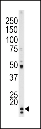 The anti-Phospho-P21CIP1-T145 antibody is used in Western blot to detect Phospho-P21CIP1-T145 in HeLa tissue lysate.