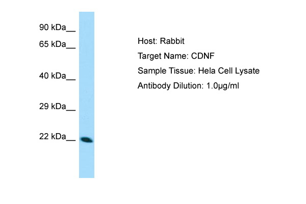 CDNF / ARMETL1 Antibody -  This image was taken for the unconjugated form of this product. Other forms have not been tested.