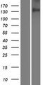 CDON / Cdo Protein - Western validation with an anti-DDK antibody * L: Control HEK293 lysate R: Over-expression lysate